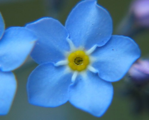 Flower Picture showing Forget Me Not