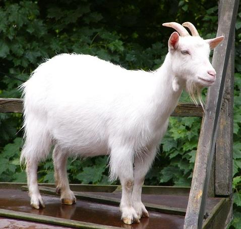 حيــوانـات الـمـزرعـة Ram-goat