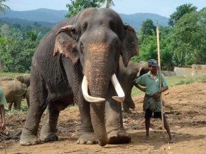 A giant shows his tusks to a visitor, M. Banerjee, from Tata-nagar.